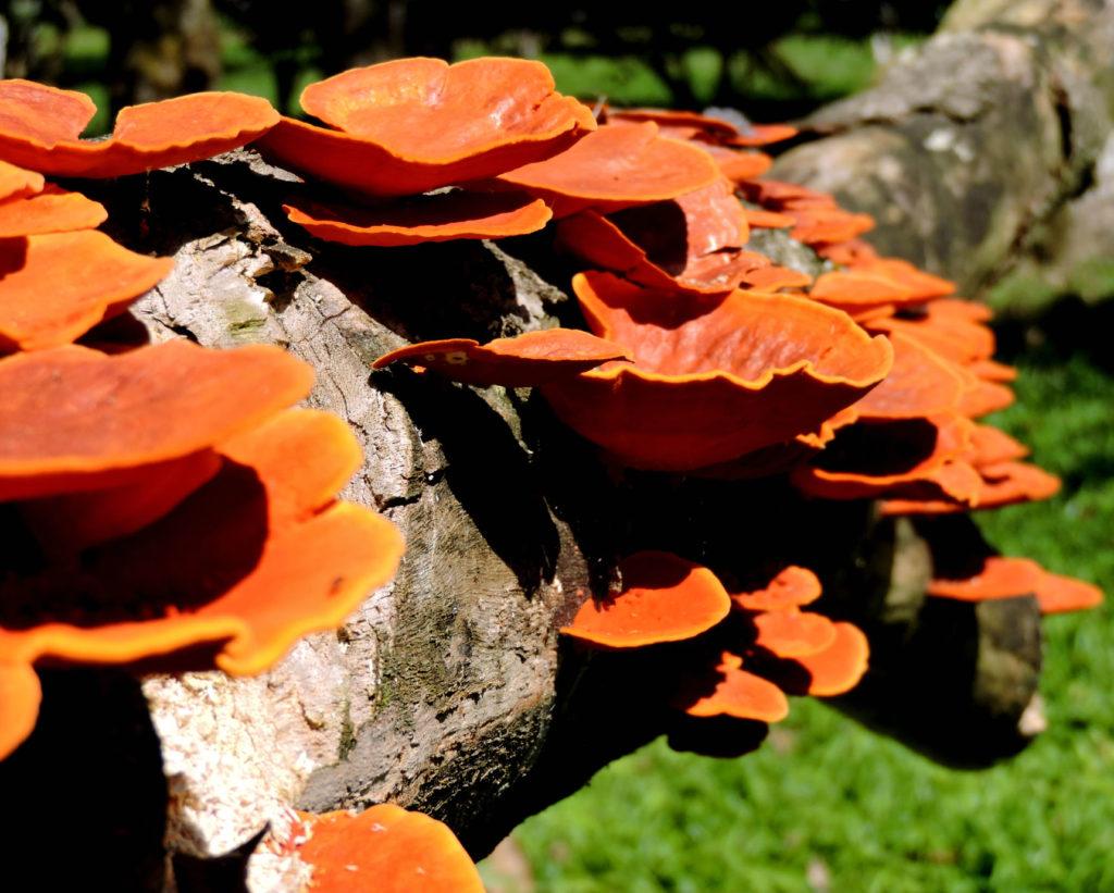 Cogumelo Orelha-de-pau (Polyporus-sanguineus). Foto de Aline Rezende mundo sombrio saci perere